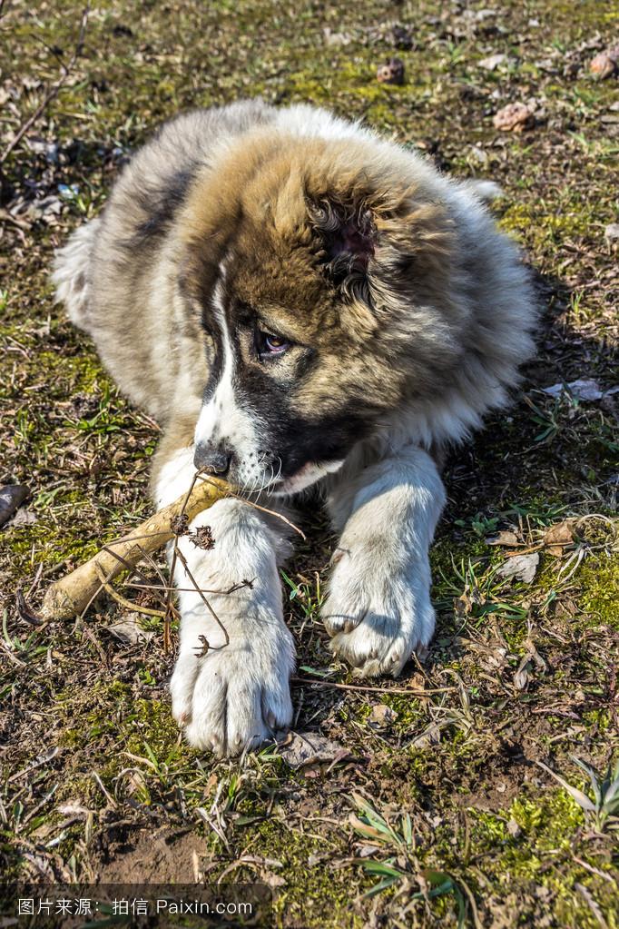 头发,狗,玩,爪,血统,牧羊人,地面,粘贴,春天,脚,纯种的,土壤,孤独图片