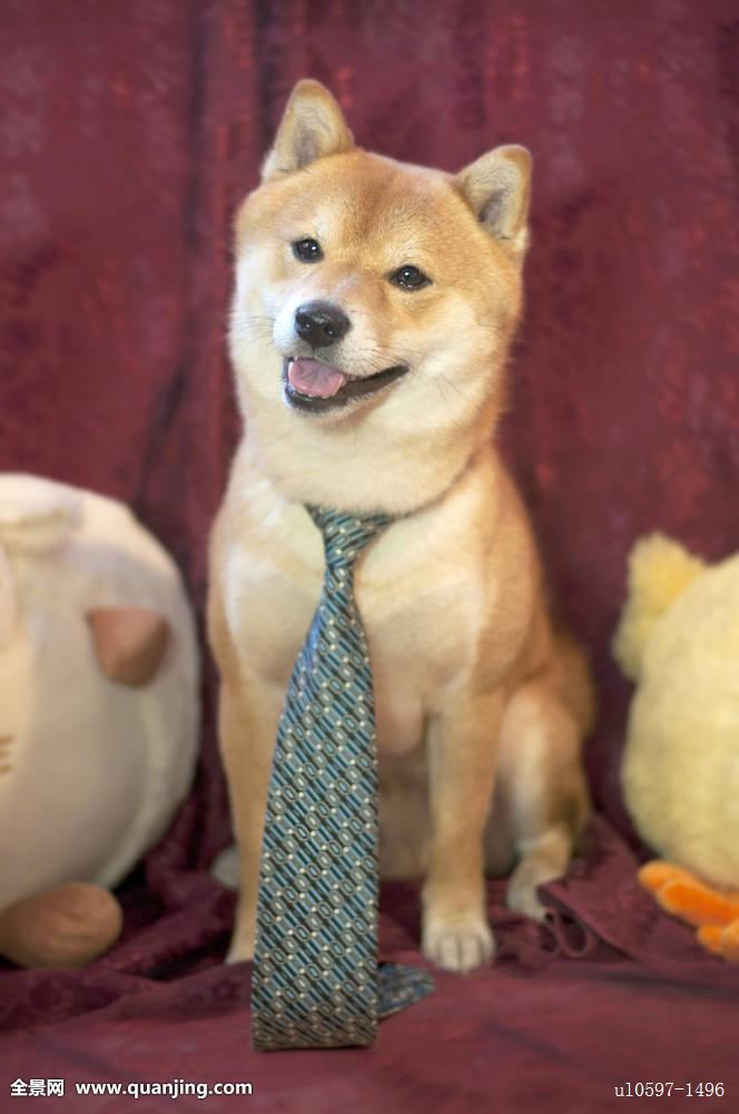 一个耿直的微笑柴犬表情包超萌分享展示