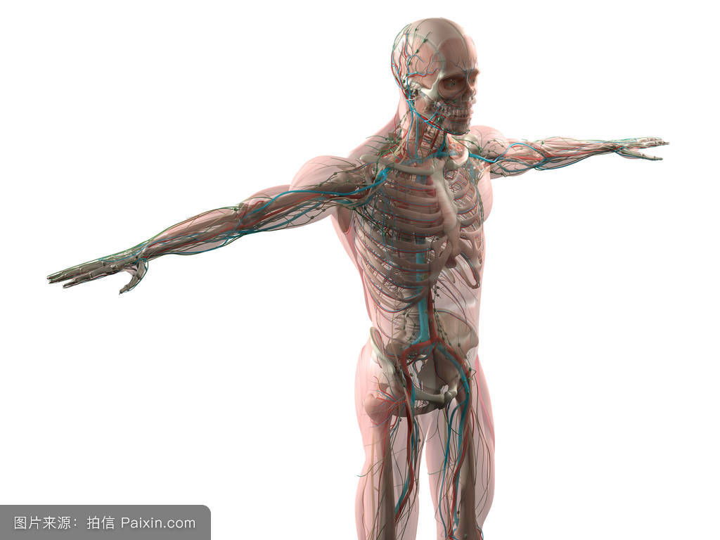 肌肉_人体解剖模型