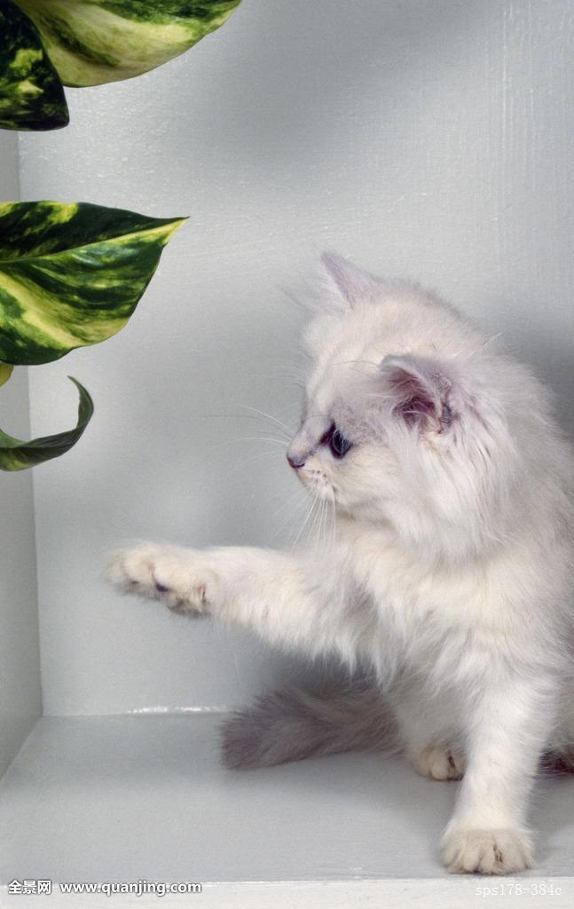 波斯猫多喝水有害处吗图片