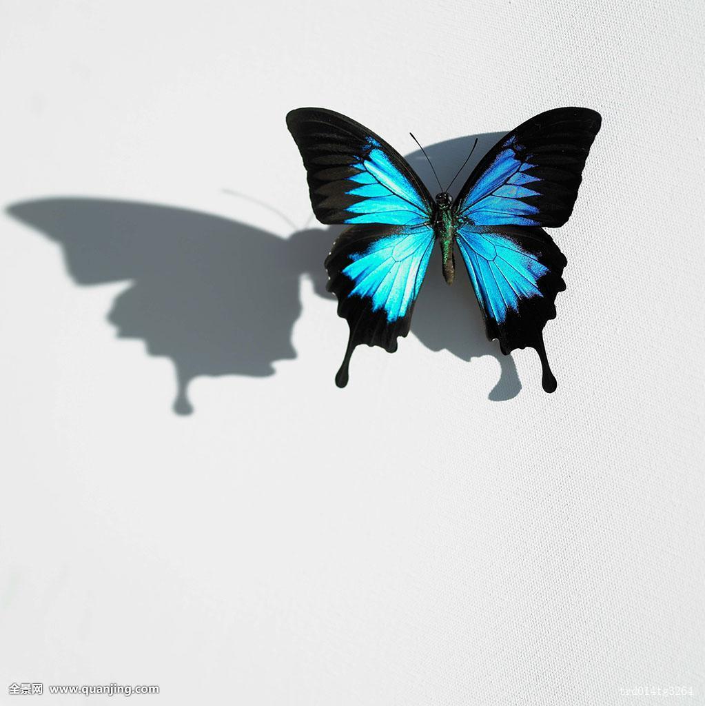 一个,昆虫,影子,蝴蝶,白色背景,动物,蓝色图片