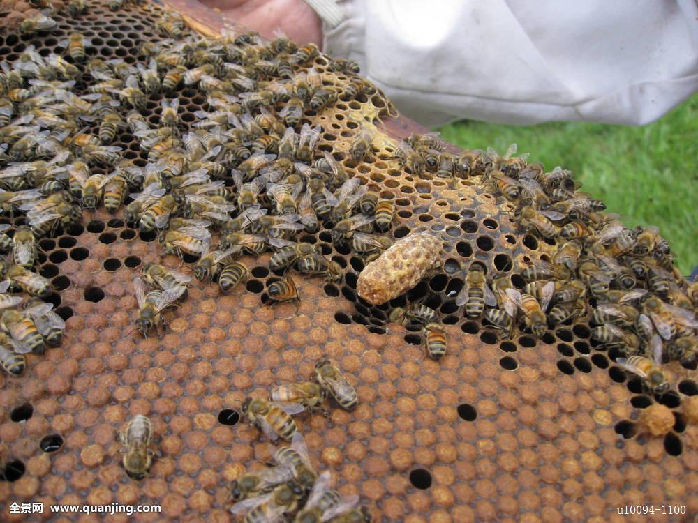 梦见蜜蜂窝_蜂窝,蜜蜂,窝
