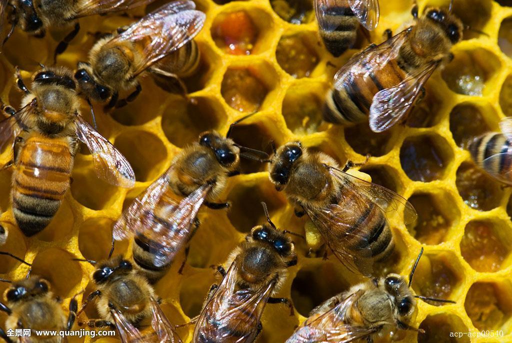 梦见蜜蜂窝_西部,蜜蜂,意大利蜂,窝,萨德伯里,安大略省,加拿大