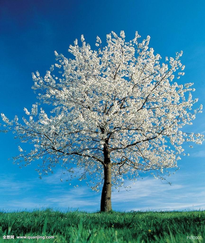 一棵树的囹�a_孤树,孤木,一棵树,一棵,树,蓝天,果树,草地,草皮