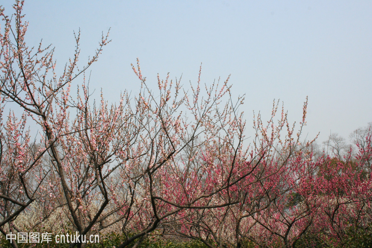 南京梅花山盛开的梅花