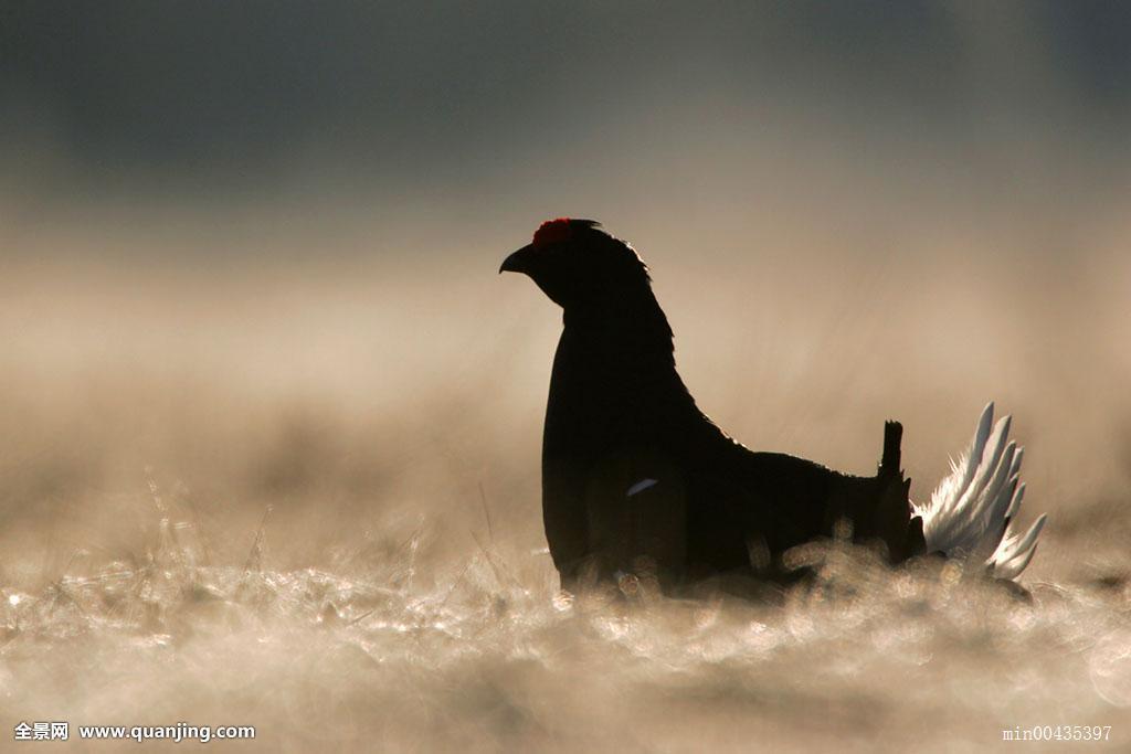 大黑鸡吧愺`/:)�h�_黑琴鸡,波兰