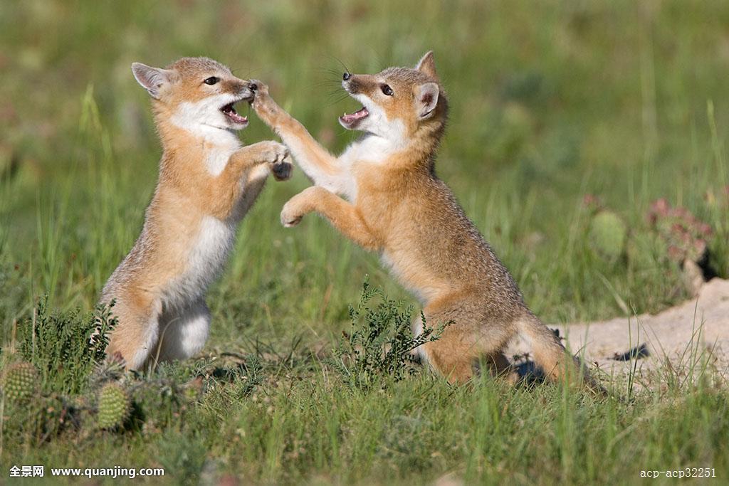 搜神记之斑狐_狐属,小动物,玩,巢穴,靠近,科罗拉多