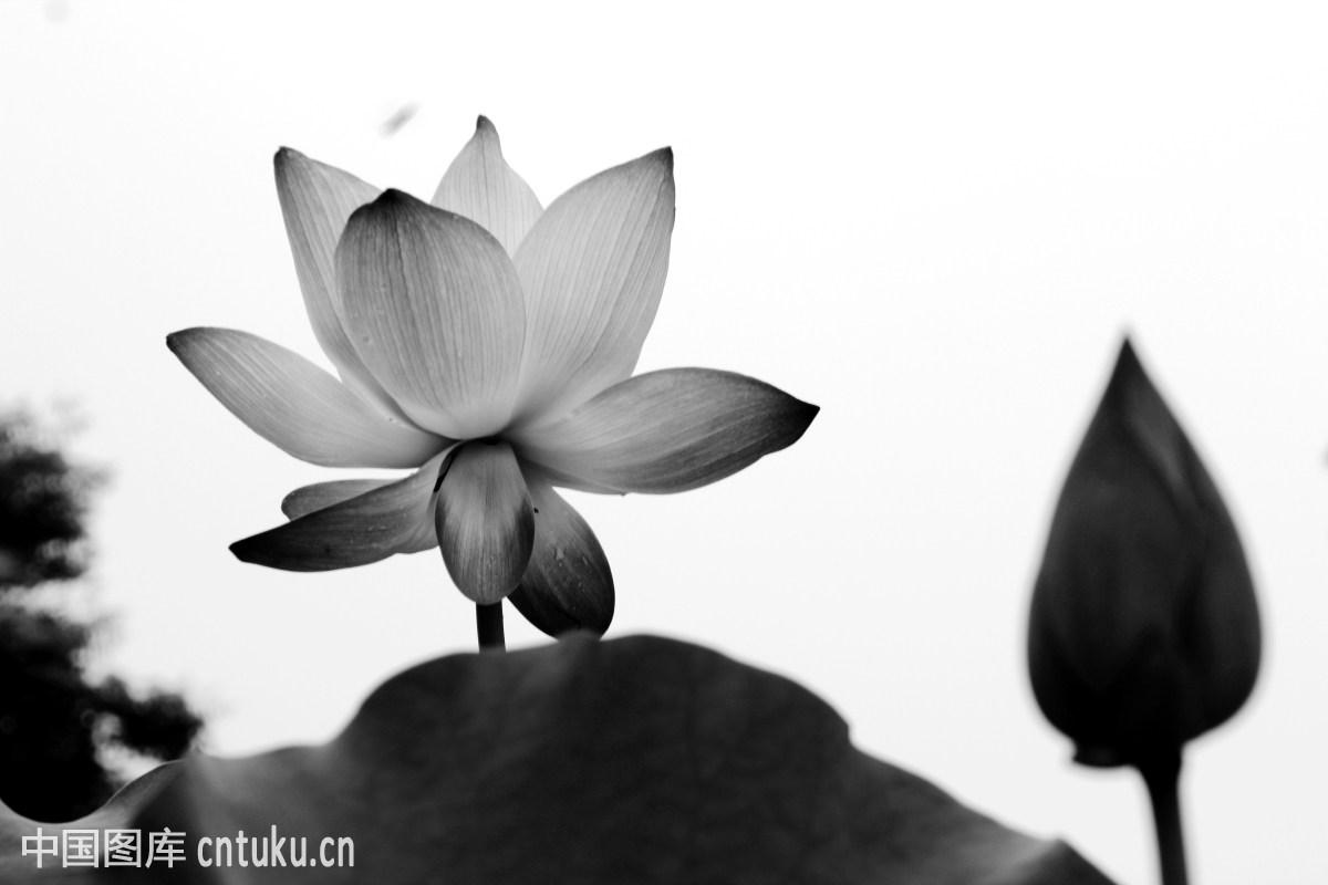 黑白荷花图片