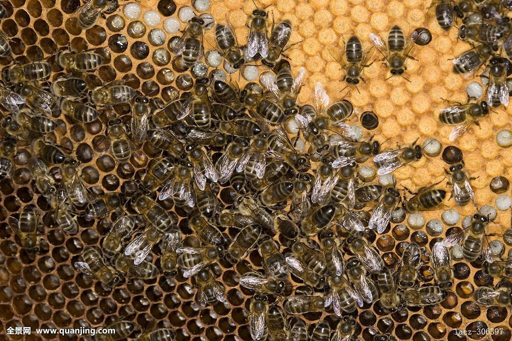 梦见蜜蜂窝_蜜蜂,意大利蜂,工蜂,照顾,幼体,窝,蜂巢,蜂窝,诺曼底
