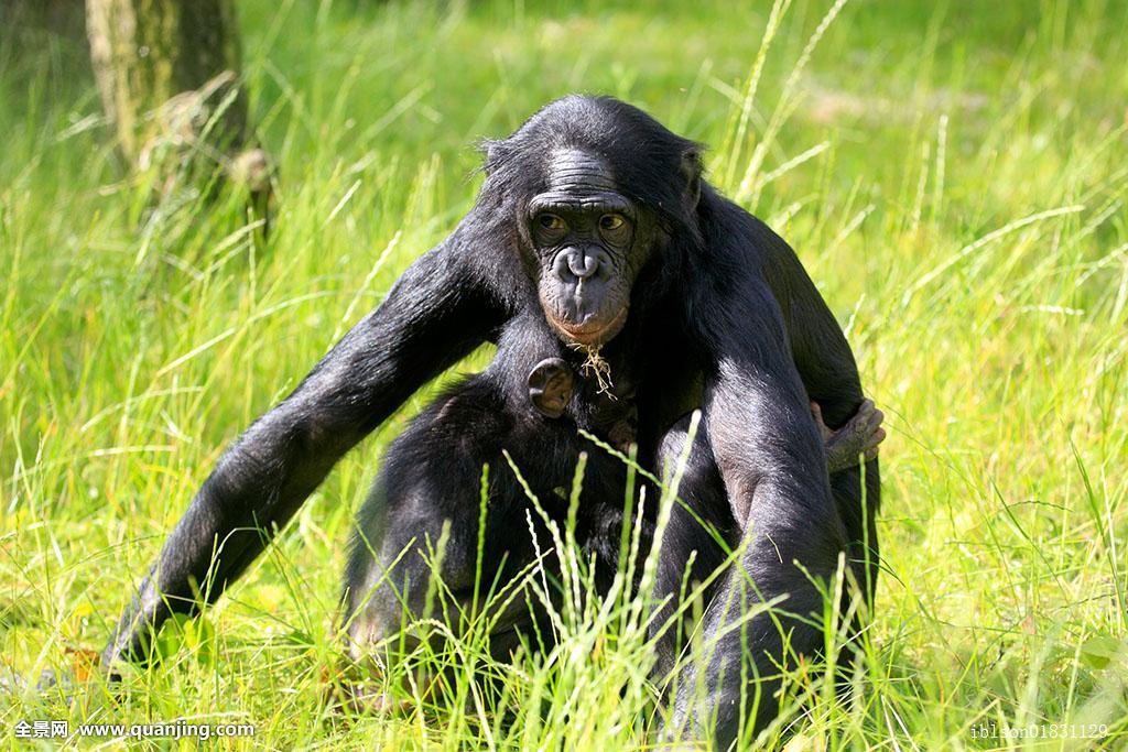 大黑鸡吧愺`/:)�h�_倭黑猩猩,俾格米人,黑猩猩,母子,非洲