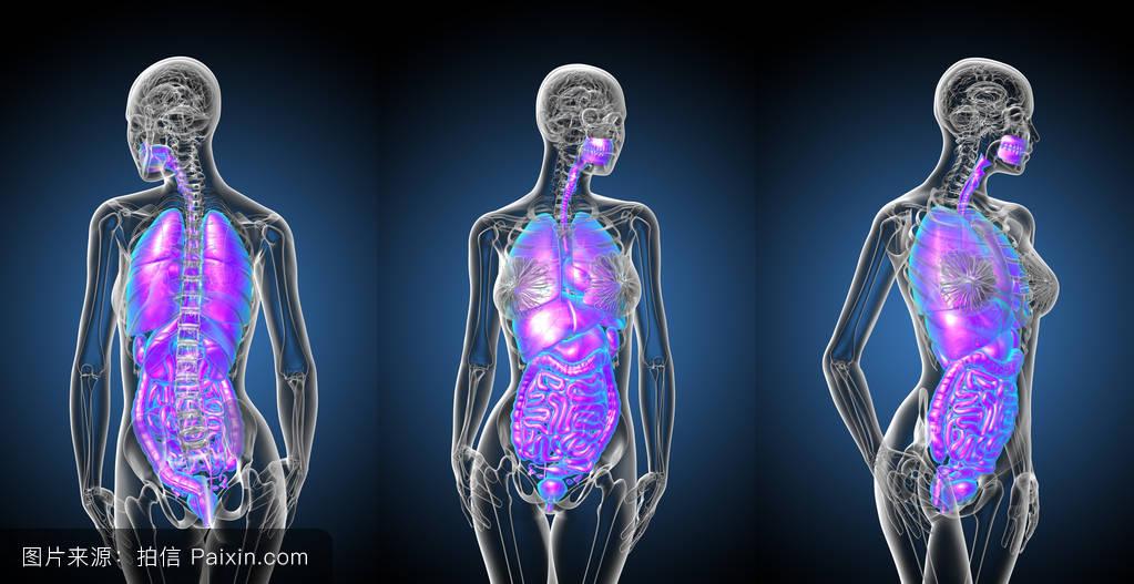 男人腰肺&f��yf�x�_喉,器官,胃,呼吸,结肠,肠,心,胸部,支气管,消化,肺,3d渲染,气管,人体