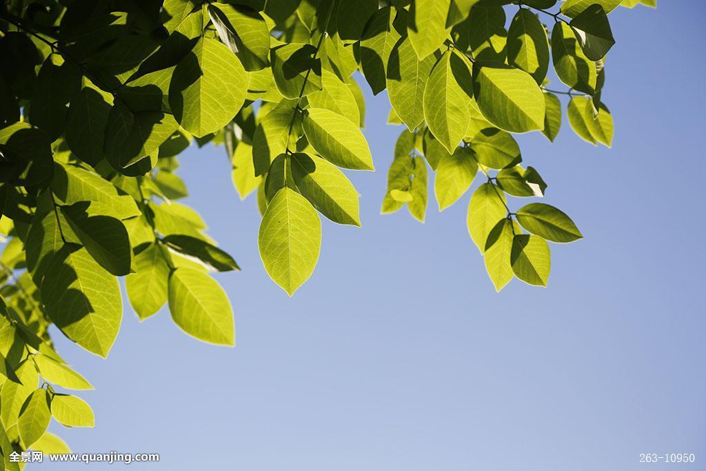 绿叶蓝天图片
