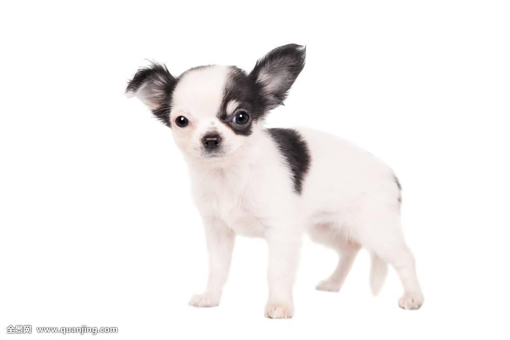 可爱,动物,背景,大,黑色,吉娃娃,幼仔,幼兽,狗,驯服,耳,表情,绒毛状图片
