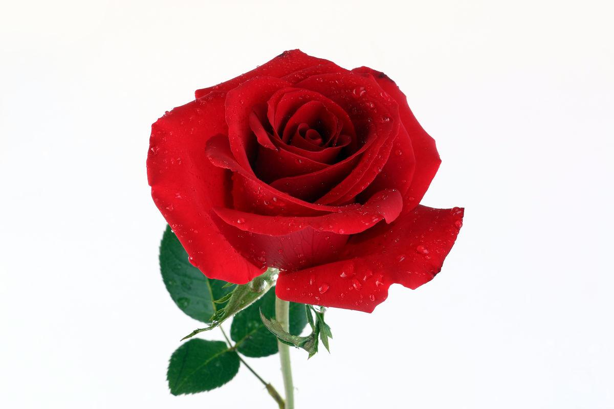 玫瑰壁纸桌面_粉色玫瑰花高清电脑桌面壁纸 植物壁纸 壁纸下载