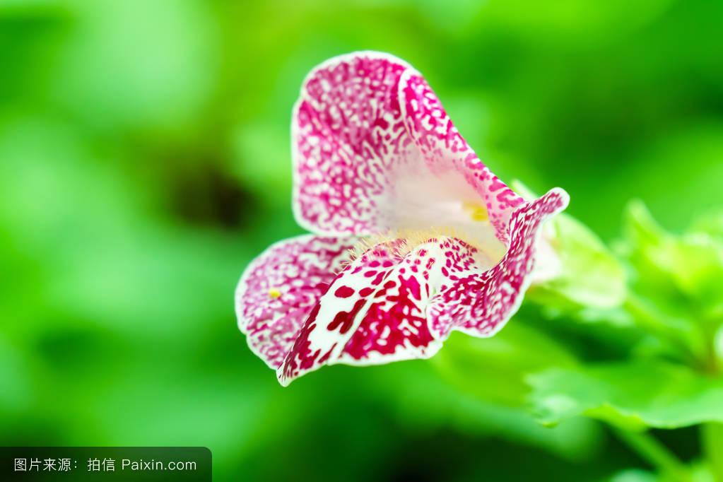 花猴子_猴面花,绿色,植物学的,夏天,叶,自然,沟酸浆,猴子,白色,植物,开花