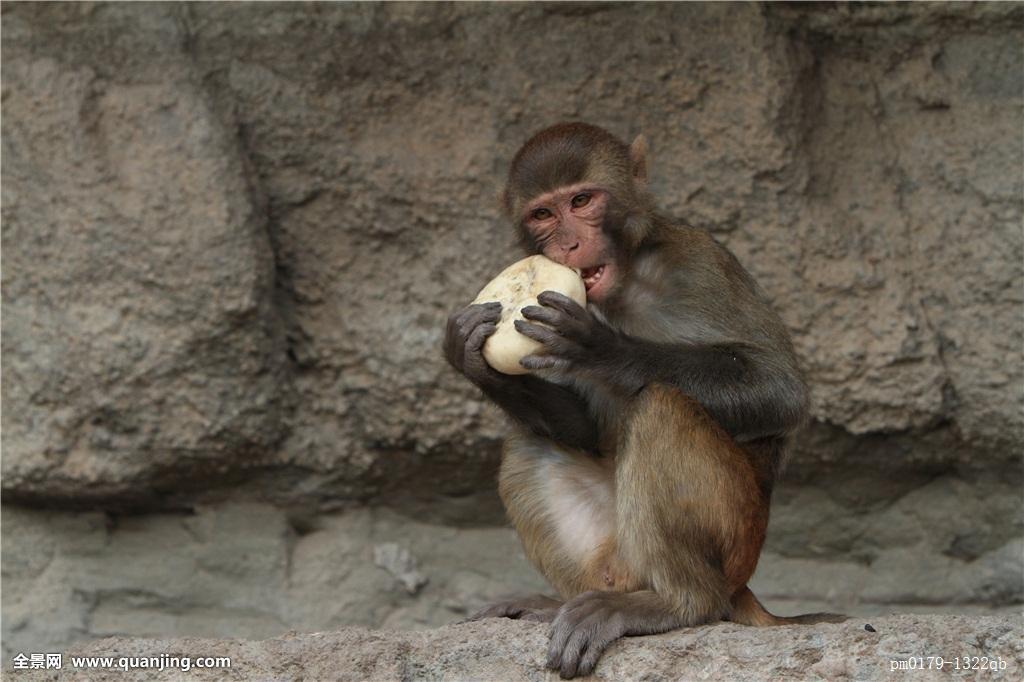 中国猴子种类_亚洲,猴子,印度,灵长类,中国,猿