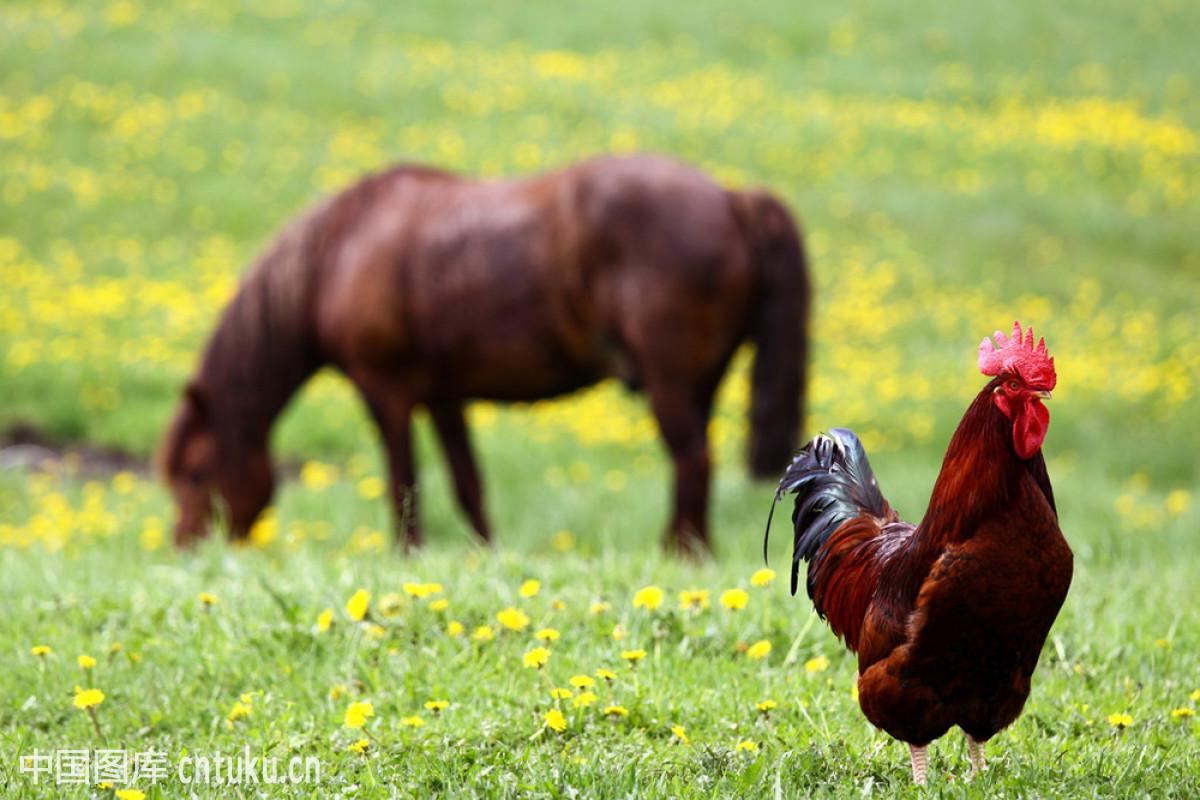 主人与马舌吻视频_公鸡与马