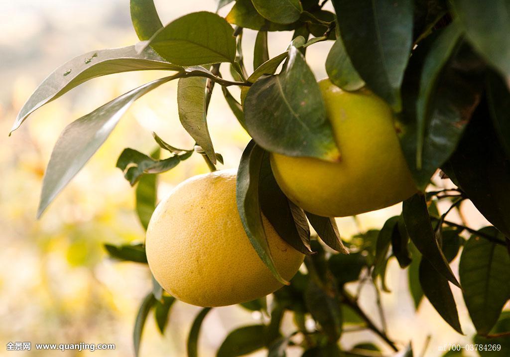 柚子,枝头图片