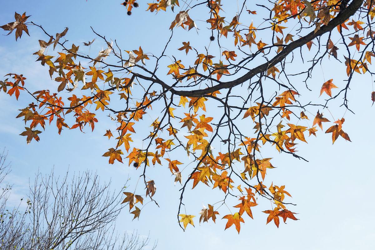 秋天枫树叶的作文大约200字左古图片