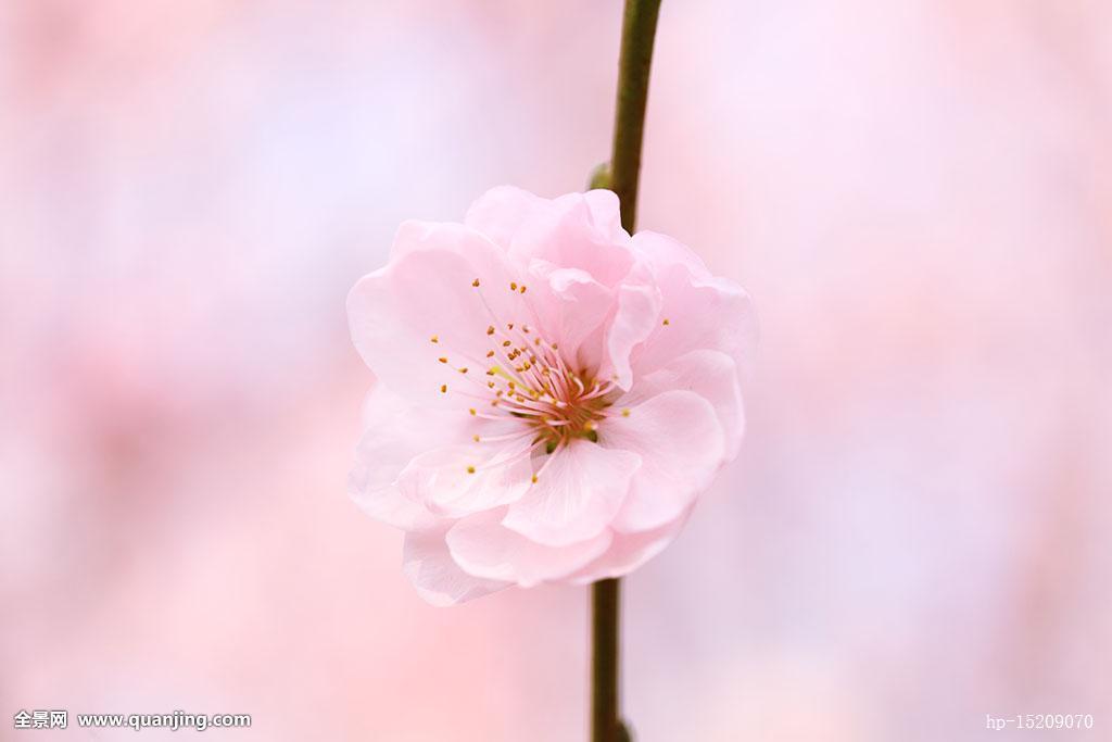 杏花,春天,盛开,一朵花,粉色背景,白色,粉色,背景虚化,发芽,树枝,树图片