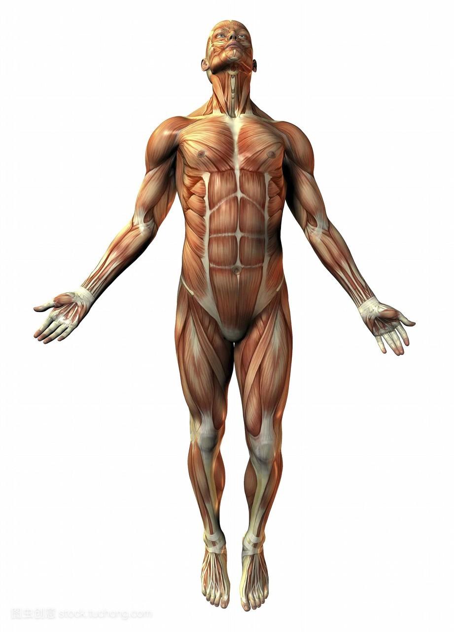 肌肉_解剖学,骨骼,一个,人体,强壮,植物学,男人,肌肉,生物学,养生,健康的