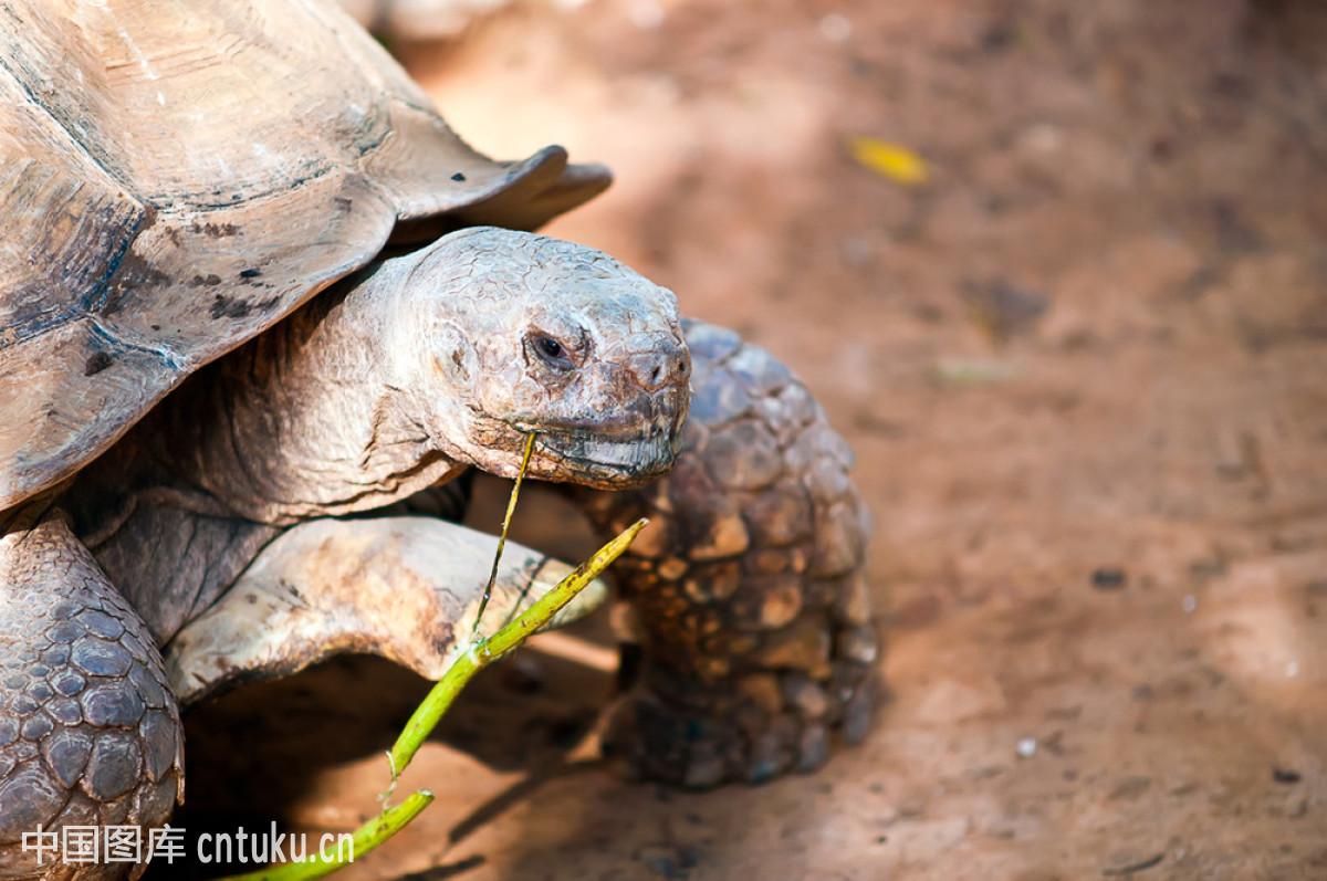 乌龟什么颜色好_阿比西尼亚的乌龟.geochelone(苏卡达陆龟).