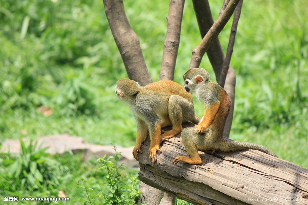 中国猴子种类_水平构图,上海,中国,动物,无人,猴子,白昼,野生动物,摄影,彩色图片