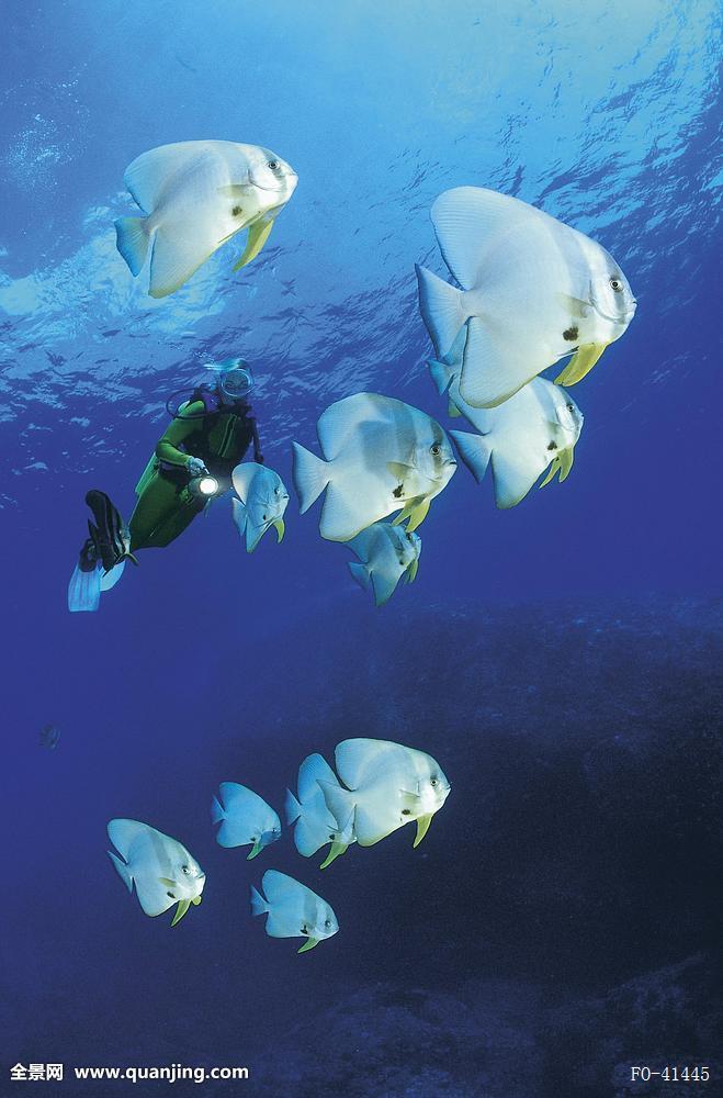 圆形,蝙蝠鱼,深潜者,海洋生物,海洋,鱼,印度洋,水下,潜水,假日,动物