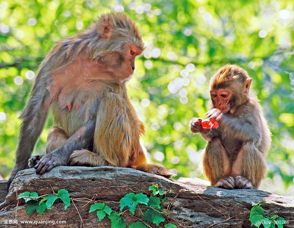 中国猴子种类_花果山,茂盛,著名,表面,观赏,连云港市,中国,中国东部,江苏,两个猴子
