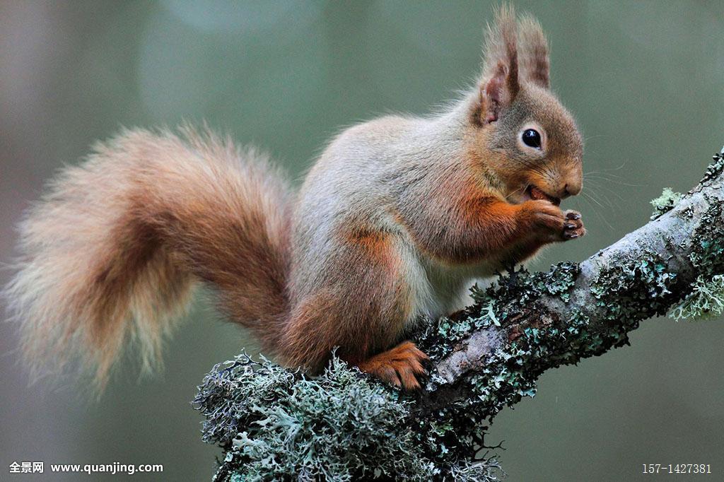 欧亚红松鼠,松鼠,凯恩戈姆国家公园,苏格兰图片