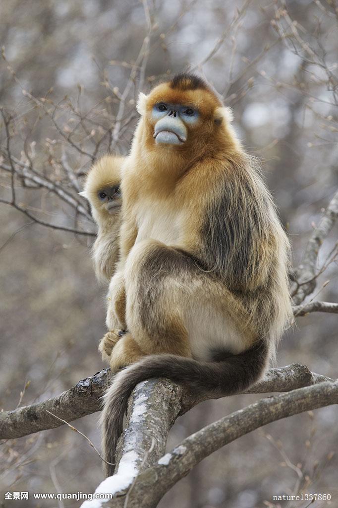 中国猴子种类_金色,猴子,幼仔,凝视,后视图,成年,背影,自然保护区,秦岭,陕西,中国