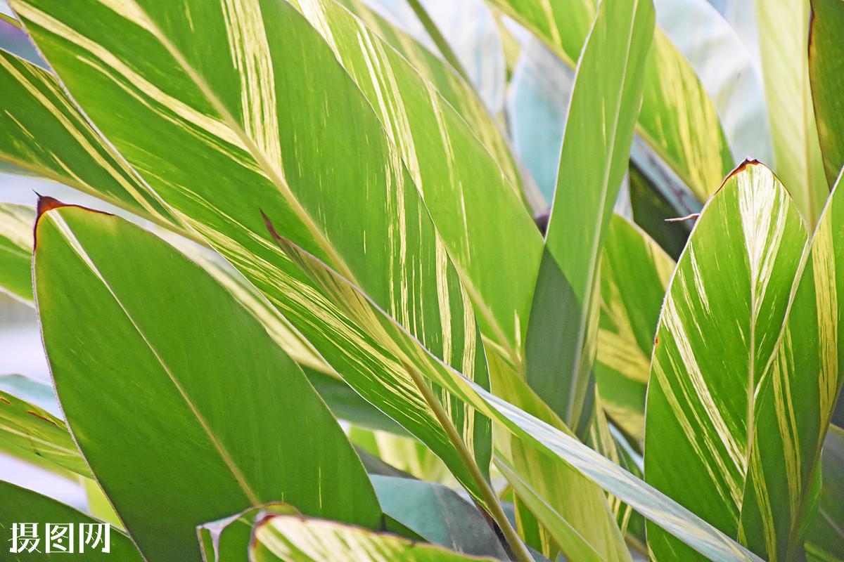 植物,绿色,叶子,芭蕉叶,斑驳,色彩斑斓,条纹,自然,生命,阳光图片