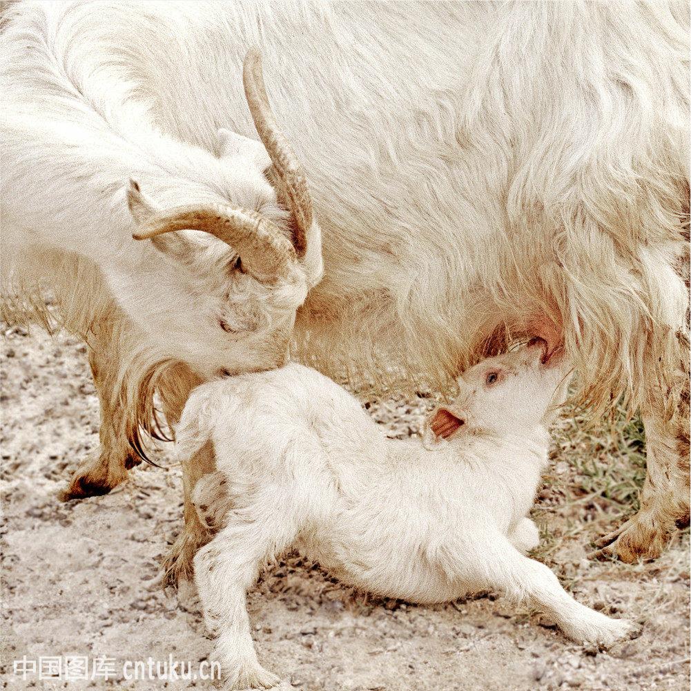 小羊跪乳-小羊跪乳是成语吗,小羊跪乳图片大全,小羊跪