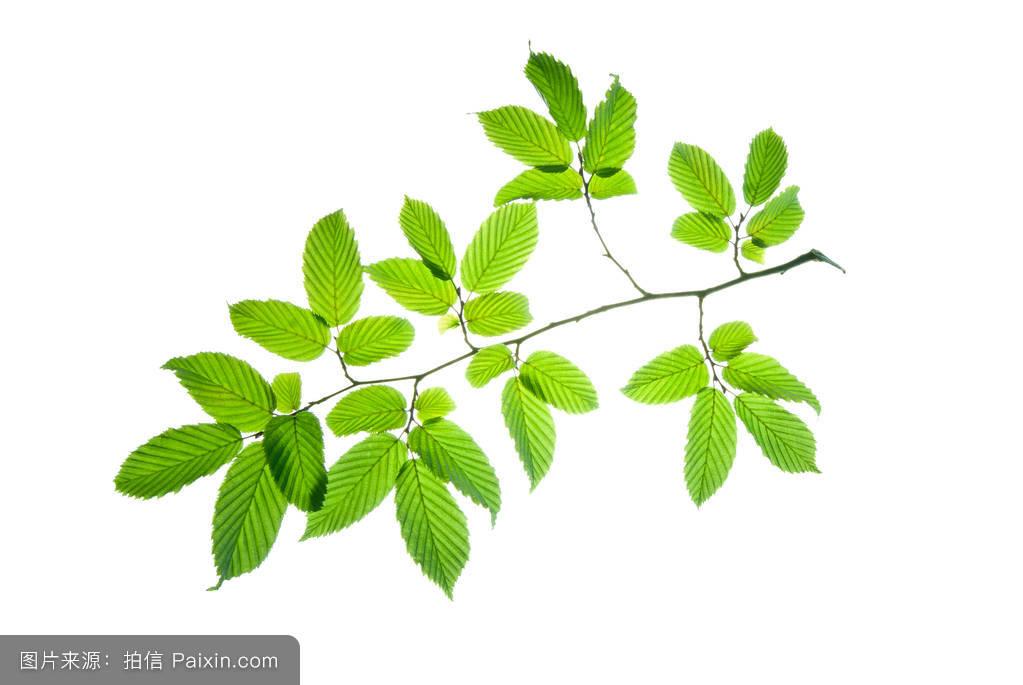 纹理,植物学,尖尖的,春天,茎,分支,园艺,对冲成长,背光,详细的,隔离图片