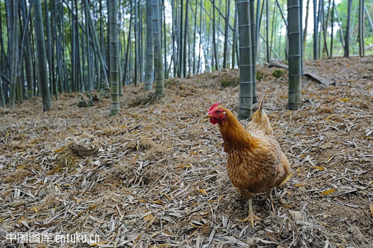 纯竹子如何打造鸡棚_公鸡,家禽,小母鸡,竹林,觅食,鸡,竹子,山鸡