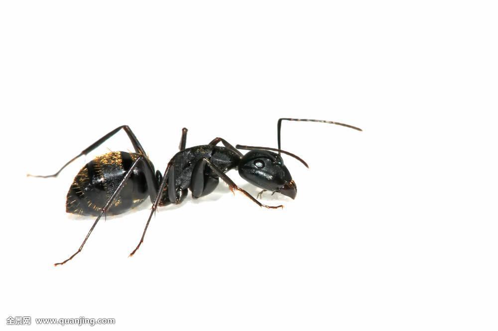 蚂蚁家族昆虫蠕虫动物生物学环境自然特征微距照片室内