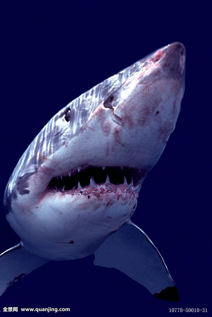鲨血浴囹�a_鲨鱼,攻击,澳大利亚,血,蓝色,沙鲨属,特写,危险,眼,脸,鳍,威迫,嘴唇
