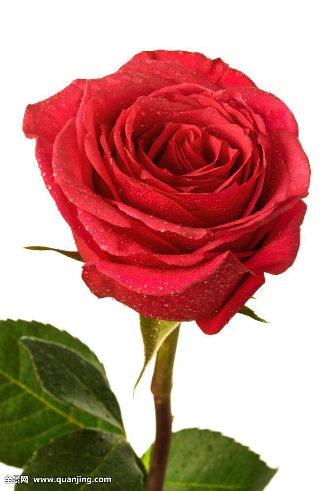 深宫风云之玫瑰_一个,深红色,玫瑰