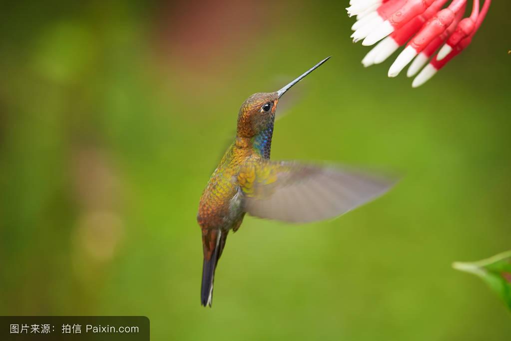 小�9i-9`��il�bN�8_8��鸟,白尾hillstar�%8