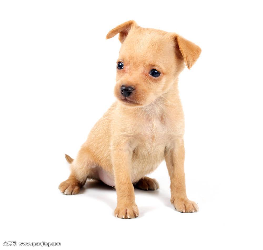 可爱,漂亮,褐色,食肉动物,装饰,狗,生活,表情,朋友,有趣,高兴,小图片