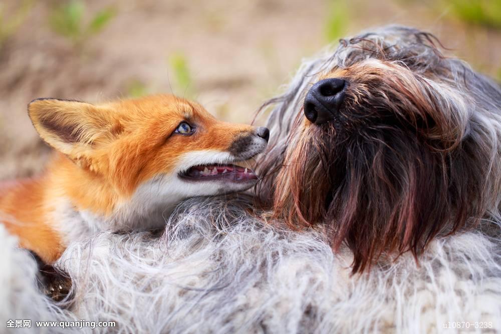 狗跟狐狸杂交_狐狸,狗