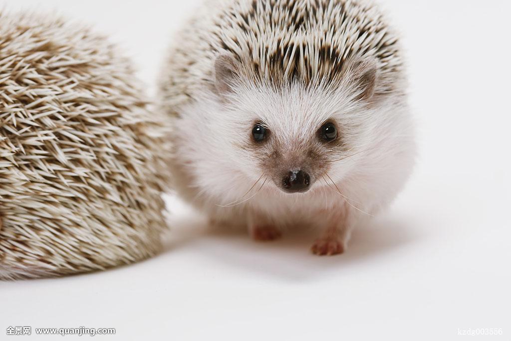 动物,特写,生物,可爱,表情,眼睛,眼,脸,刺猬,正面,治愈,室内,单纯,看