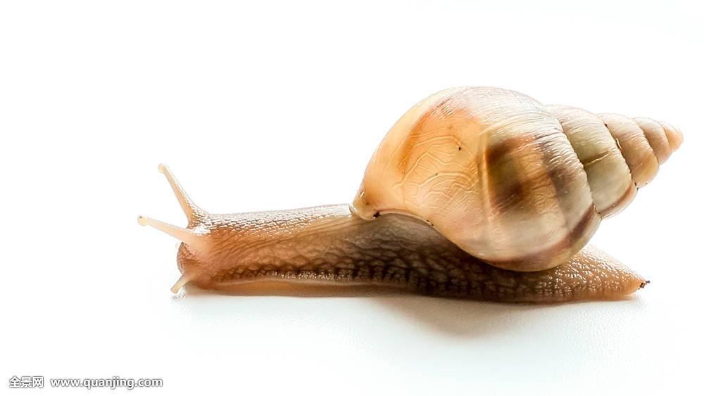 壳慢腹足自然动物房子粘性速度老虎无脊椎动物微距蜗牛粘动物来了英文版图片
