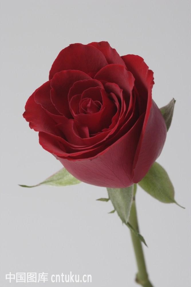 中国,单茎玫瑰,东亚,室内,花,花瓣,花的特写,浪漫,玫瑰,七夕节,情人节图片