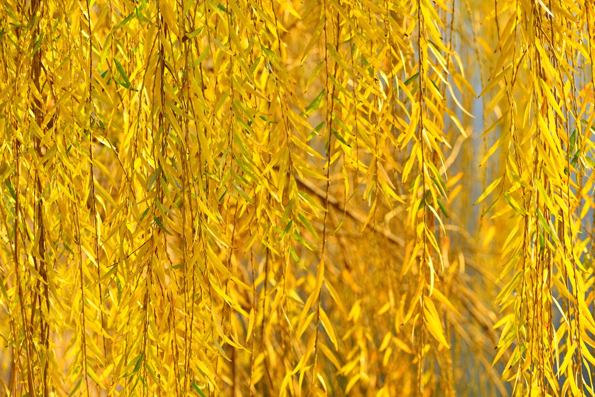 写500字秋天柳树叶子的作文图片