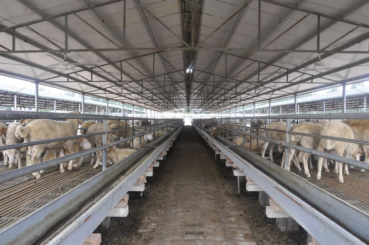 肉羊养殖场,肉羊,畜牧,现代畜牧业,羊,养羊图片