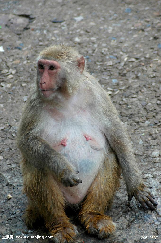 中国猴子种类_动物,猴子,坐,一只,特写,中国摄影师