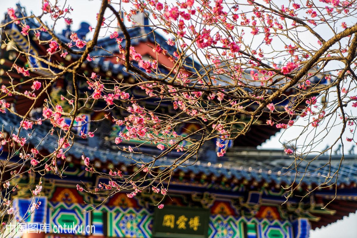 南京梅花山梅花节