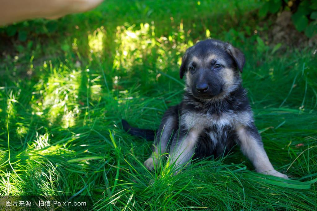 可爱的,纯种的,孤独,一,短的,坐,宠物,空气,绿色,羊毛,草,打开,牧羊人图片