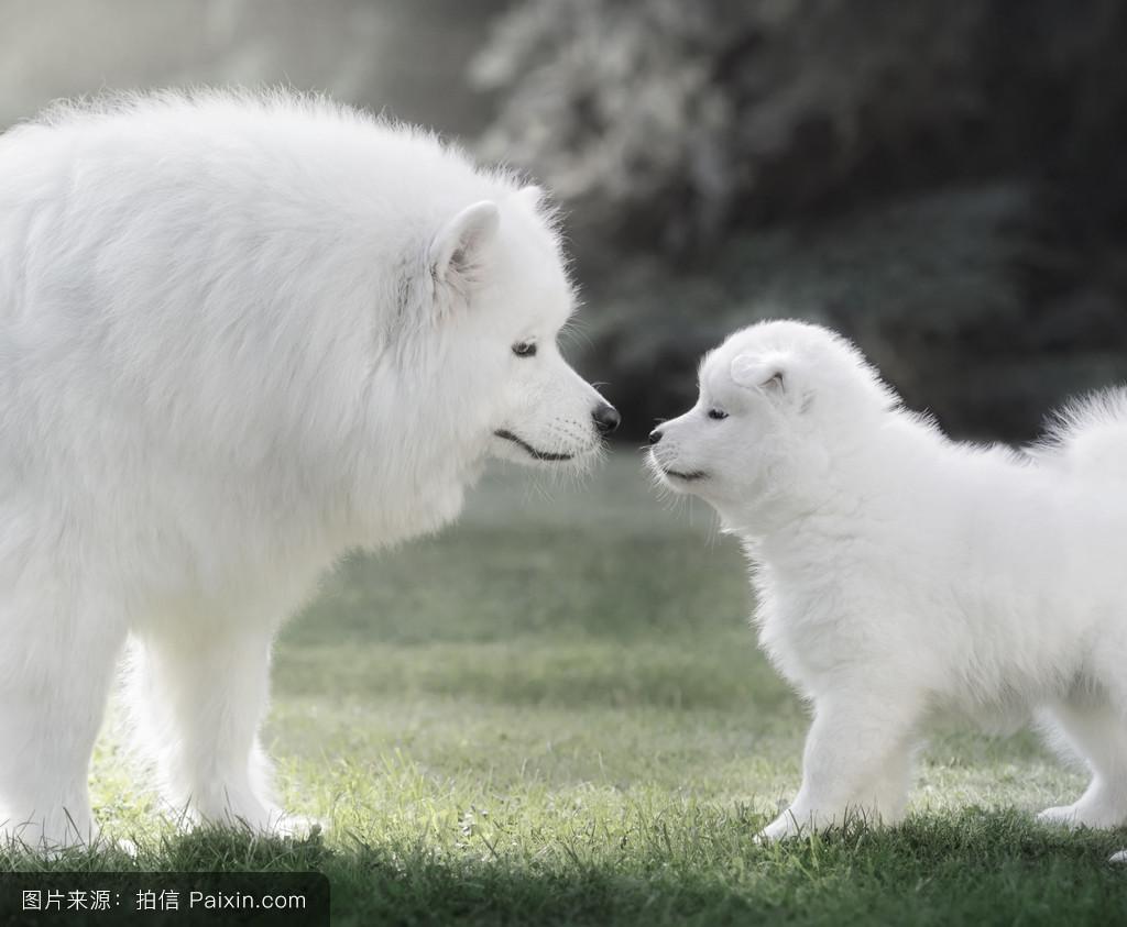 萨莫耶_萨摩耶犬的小狗.背光.